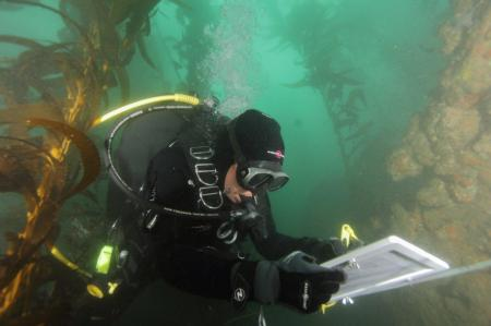 A diver monitoring kelp forest growth. Photo by David Witting / NOAA.